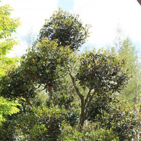 Osmanthus heterophyllus (Topiary)