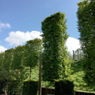 11214 - Carpinus betulus 'Fastigiata' (Pleached)