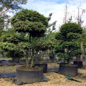 Carpinus betulus (Topiary)