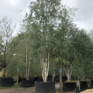 11221 - Betula pubescens