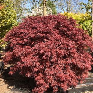 11294 - Acer palmatum 'Crimson Queen' (D)