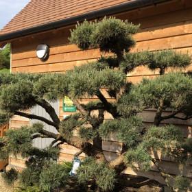 Pinus sylvestris 'Watereri' (Topiar