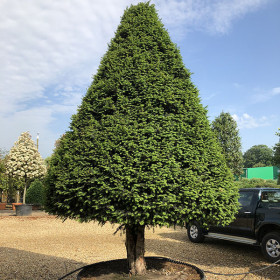 Taxus baccata (Topiary)