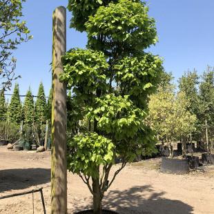 11312 - Carpinus betulus 'Monumentalis' (Topiary)