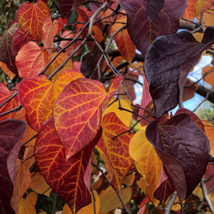 11326 - Cercis canadensis 'Ruby Falls'