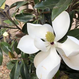 11328 - Magnolia grandiflora 'Little Gem'