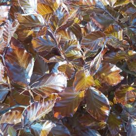 Fagus sylvatica Purpurea Group (Top