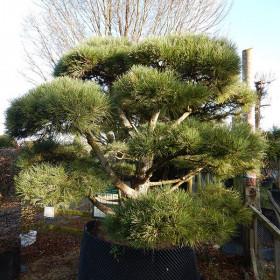 Pinus sylvestris (Topiary)