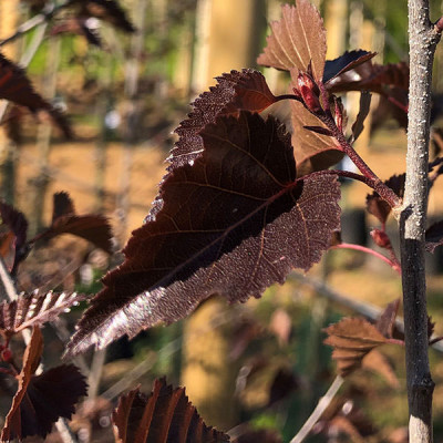 Betula 'Royal Frost'