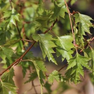 11429 - Betula pendula 'Dalecarlica'