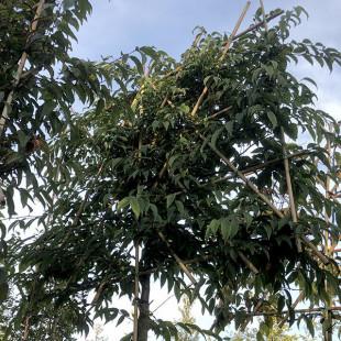 11450 - Carpinus japonica (Pleached)