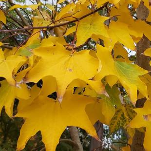 11451 - Acer cappadocicum 'Aureum'