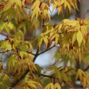 11452 - Acer palmatum 'Ueno Yama'