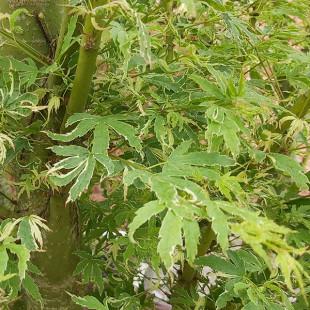 11455 - Acer palmatum 'Kagiri nishiki'