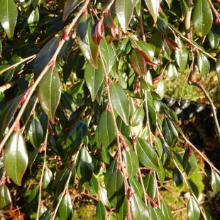 11457 - Camellia rosthorniana 'Elina'