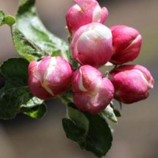 11501 - Malus d. 'Belle-Fleur Large Mouche'