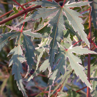 11512 - Acer palmatum 'Beni Shichihenge'