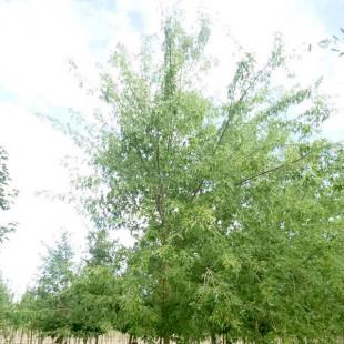 11519 - Acer saccharinum 'Laciniatum Wieri'