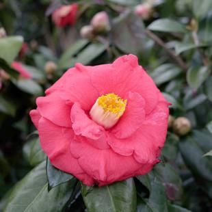 11529 - Camellia japonica 'Adolphe Audusson'