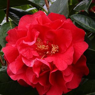 11532 - Camellia japonica 'Kramer's Supreme'