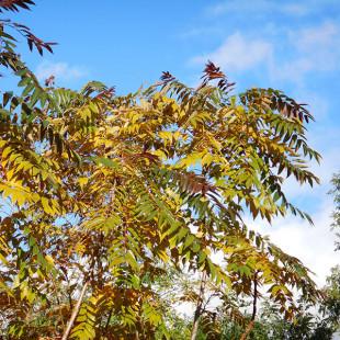 11543 - Ailanthus altissima 'Purple Dragon'
