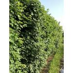 Acer campestre (Hedging)