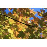 Acer x freemanii 'Autumn Blaze'