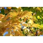 Acer platanoides 'Emerald Queen'