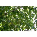 Betula albosinensis 'Fascination'