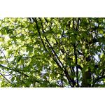 Carpinus betulus 'Frans Fontaine'