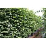 Carpinus betulus (Hedging)