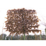 Carpinus betulus (Pleached)