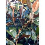 Magnolia grand. 'Gallissonnière'
