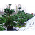 Pinus nigra ssp. nigra