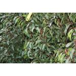 Prunus lusitanica 'Myrtifolia' (Hedging)