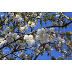 Prunus 'Shirotae'