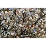 Prunus 'Taihaku'