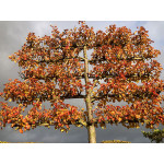 Pyrus cal. 'Chanticleer' (Pleached)