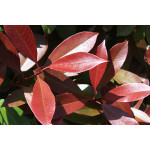 Photinia x fraseri 'Red Robin' (Hedging)
