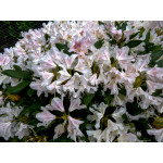 Rhododendron 'Cunninghams White'