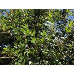 Osmanthus heterophyllus