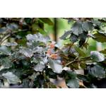 Fagus sylvatica Purpurea Group (Hedging)