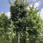 Betula erm. 'Holland' (Pleached)