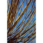 Salix alba 'Britzensis' (Pollarded)
