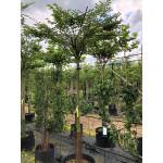 Carpinus betulus 'Fastigiata' (Pleached)