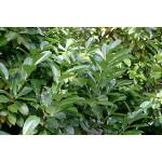 Prunus laur. 'Novita' (Pleached)