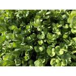 Buxus sempervirens 'Bullata' (Topiary)