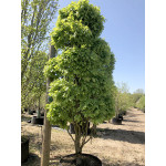 Carpinus betulus 'Monumentalis' (Topiary)