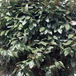 Elaeagnus x ebbingei (Pleached)