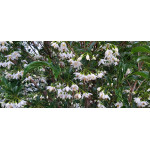 Styrax japonicus 'Snowcone'